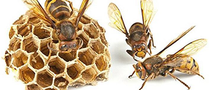 Como curar uma picada de abelha